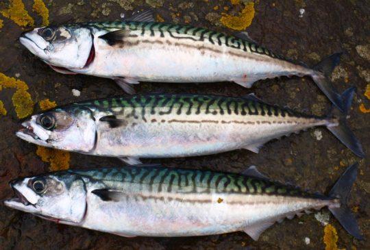 Image: Makrell og havbris